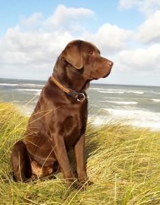 Labrador Fotovorlage